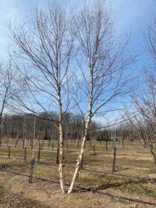 dogwood hills tree farm auction Middlebury
